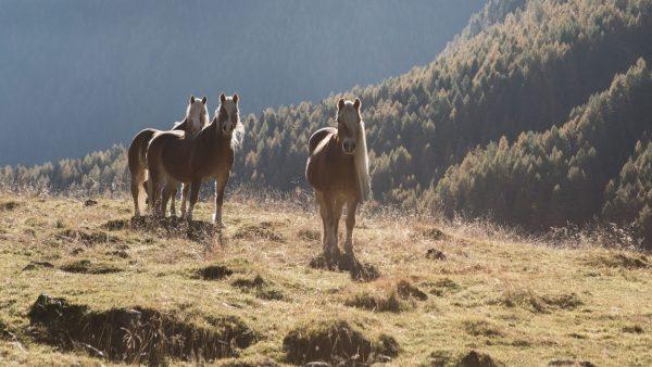 Pferde in Kühtai